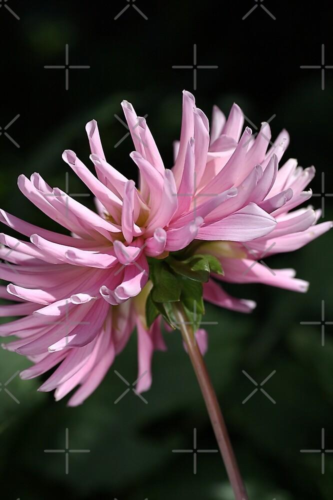 flower-pink dahlia by Joy Watson