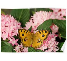 Peacock pansy butterfly Poster