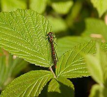 Large Red Damselfly by Jon Lees