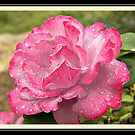 My Pink Rose ( For You) Out of Our Garden by Burnie