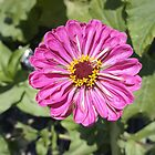 Zinnia by Laurie Perry