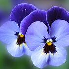 Blue Velvet - Dreamy Violas by BlueMoonRose