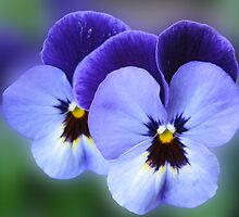 Blue Velvet - Dreamy Violas by BlueMoonRose