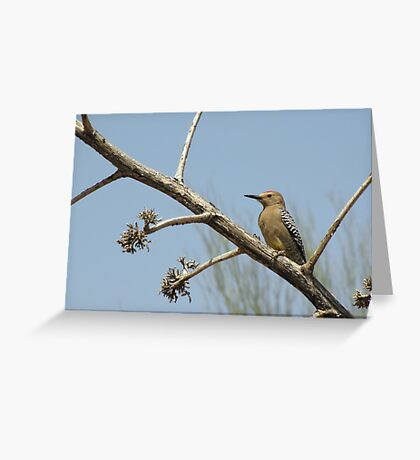 Gila Woodpecker ~ Male Greeting Card