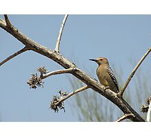 Gila Woodpecker ~ Male Photographic Print