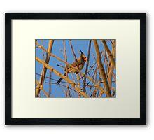 Pyrrhuloxia (Male) ~ Sunset Sir Framed Print