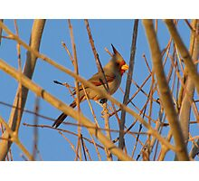 Pyrrhuloxia (Male) ~ Sunset Sir Photographic Print