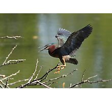 Aggressive Green Heron Photographic Print