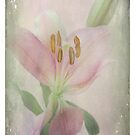 A Lily is Humble by Rozalia Toth