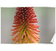 Showy Red Hot Poker Poster
