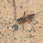 Parastic Wasp - Gotra sp. by Andrew Trevor-Jones