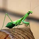 Mantis visitor by Michelle Dewis