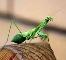 Mantis visitor by Michelle Dewis