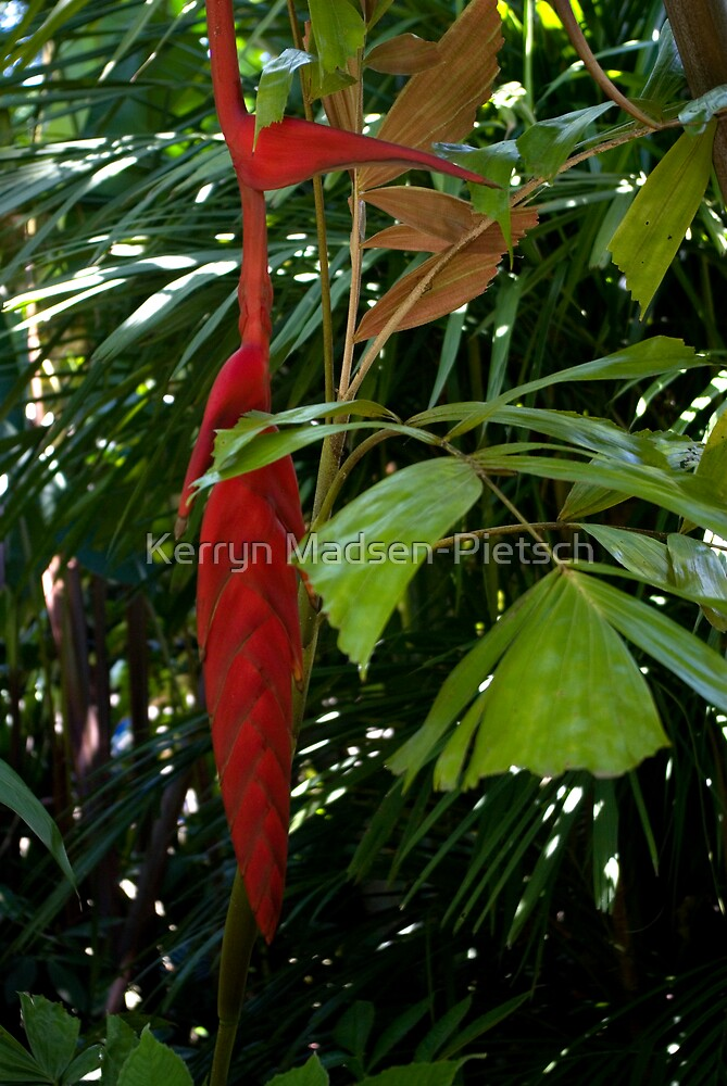 Hanging Red by Kerryn Madsen-Pietsch