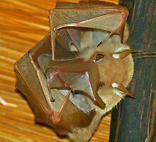 Wahlberg's epauletted fruit bat by jozi1