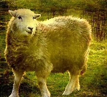 Herdwick Sheep by Marilyn Harris