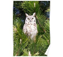 Great Horned Owl Dad watching nest Poster
