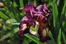 Auvers Iris N by Dominique Meynier