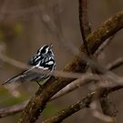Black and White Warbler by Benjamin Brauer