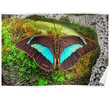 Banded King Shoemaker Butterfly (Archaeoprepona demophoon) Poster