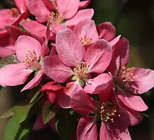 Crab Apple Blossoms by Lyle Hatch