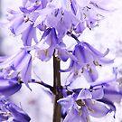 beautiful blue bells  by xxnatbxx