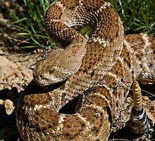 Western Diamondback Rattlesnake (Crotalus atrox) by flyingdogNM