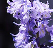 blue petals  by xxnatbxx
