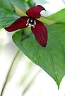 Scarlet Trillium - Light Morning Rain by T.J. Martin