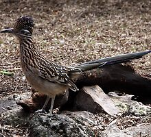 Road Runner Ready To Run! by Gail Falcon