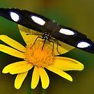 Diadem Butterfly on Yellow Flower by Steve