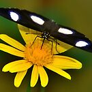 Diadem Butterfly on Yellow Flower by Stephen Frost