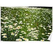 Field Of Spring Daisies Poster