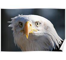 Inquisitive Bald Eagle Poster
