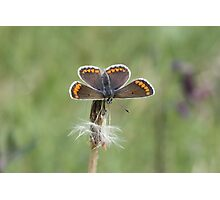Brown Argus Photographic Print