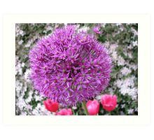 Purple Sensation - Allium and Pink Tulips Art Print