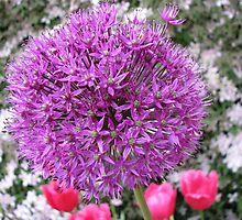 Purple Sensation - Allium and Pink Tulips by BlueMoonRose