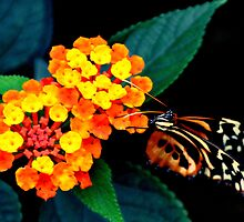 orange flower with butterfly on black by Steve