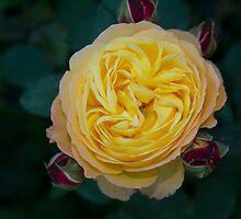 Rosa Rosae by Flavio Muscetra