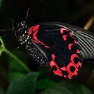 scarlet swallowtail butterfly by Steve