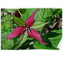 Trillium vaseyi (Sweet Beth, Sweet wakerobin, Wood lily, Trinity flower) Poster