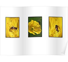 bees on yellow poppies Poster