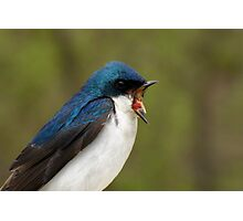 Get Out! (Tree Swallow) Photographic Print