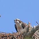 Mother`s day osprey style! by jozi1
