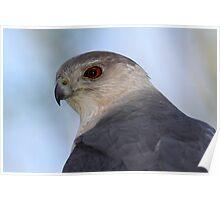 Killer Portrait / Coopers Hawk Poster