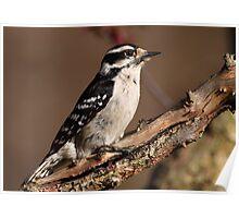 Downy Woodpecker / Female Poster