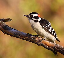 Downy Woodpecker / Male by naturalnomad