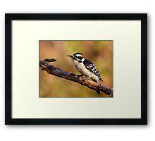 Downy Woodpecker / Male Framed Print
