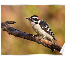 Downy Woodpecker / Male Poster