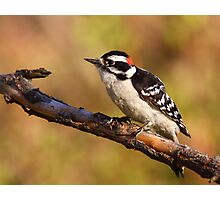 Downy Woodpecker / Male Photographic Print